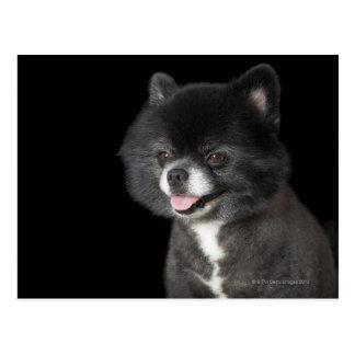 Cartão Postal Pomeranian preto que olha à esquerda