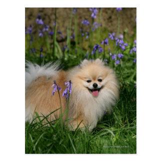 Cartão Postal Pomeranian que está de vista a câmera