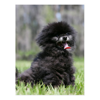 Cartão Postal Pomeranian superior preto