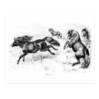 Cartão Postal Pôneis de Shetland do vintage - cavalo 1800's e