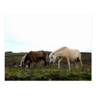 Cartão Postal Pôneis selvagens de Dartmoor
