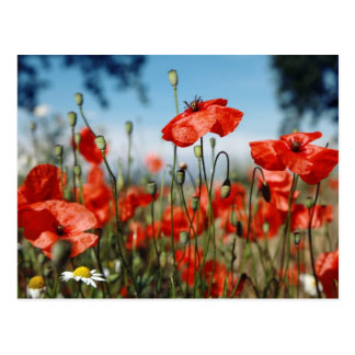 Cartão Postal Poppies