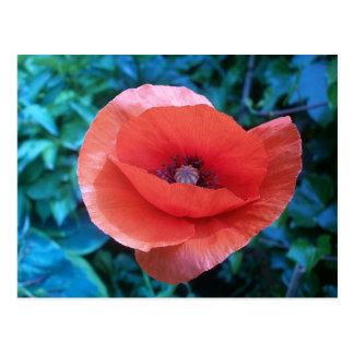 Cartão Postal Poppy. do vermelho de Tuscan