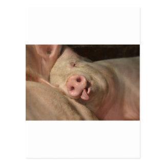 Cartão Postal porco