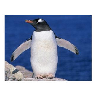 Cartão Postal Porto de papua do Pygoscelis do pinguim de Gentoo)