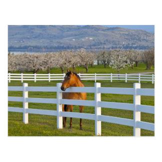 Cartão Postal Poses do cavalo pelo pomar de cereja Flathead