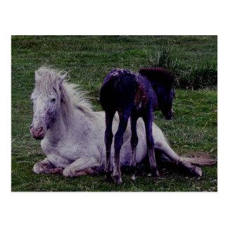 Cartão Postal Posição de descanso do potro da égua cinzenta do