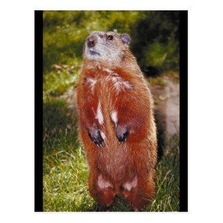 Cartão Postal Posição de Groundhog