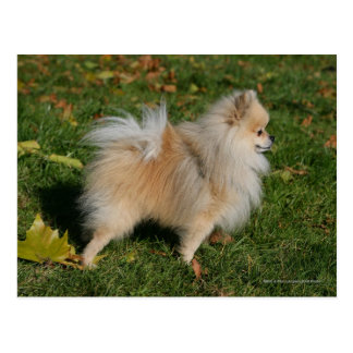 Cartão Postal Posição de Pomeranian