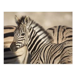 Cartão Postal Potro da zebra de Burchell (burchellii do quagga
