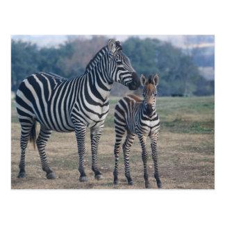 Cartão Postal Potro e mãe da zebra