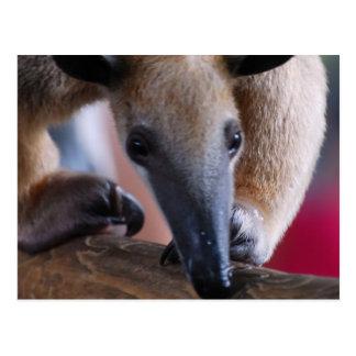 Cartão Postal Pouco Anteater Postards