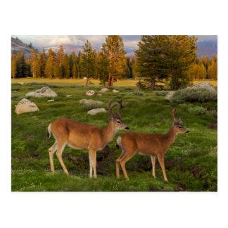 Cartão Postal Prado de Tuolumne, Yosemite
