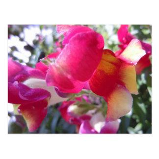 Cartão Postal Pressões bonito cor-de-rosa e do branco