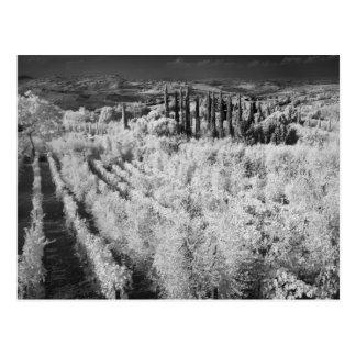 Cartão Postal Preto & branco dos vinhedos, Montepulciano, Italia