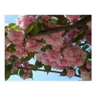 Cartão Postal Primavera cor-de-rosa de florescência dobro da
