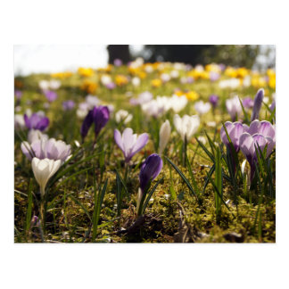 Cartão Postal Primavera de pasto com crocos em Gegenlicht