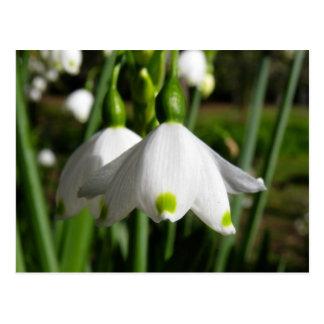 Cartão Postal Primavera Snowdrops