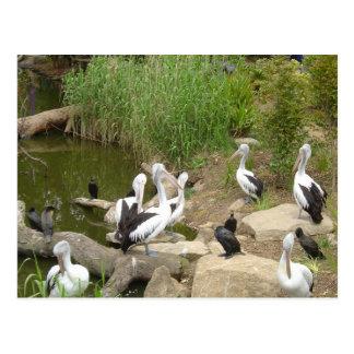 Cartão Postal Problemas possíveis do pelicano do traço