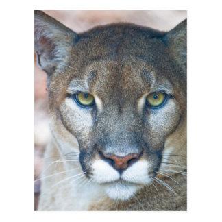 Cartão Postal Puma, leão de montanha, pantera de Florida, puma