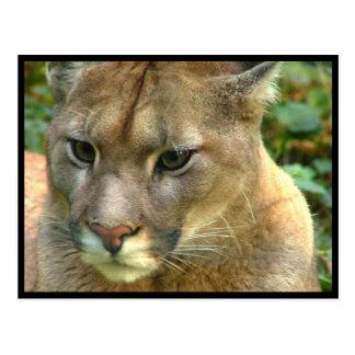 Cartão Postal Puma selvagem