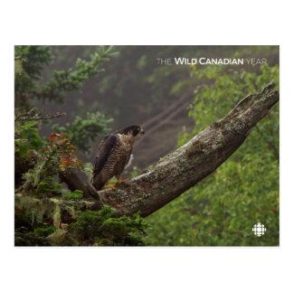 Cartão Postal Queda - falcão de peregrino
