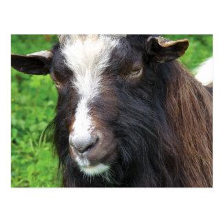 Cartão Postal Raça rara da cabra   de Bagot