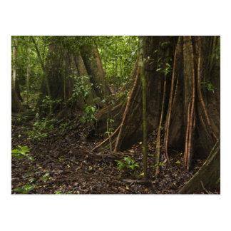 Cartão Postal Raizes do suporte. Floresta húmida, Mapari