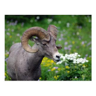 Cartão Postal Ram - cheirando as flores