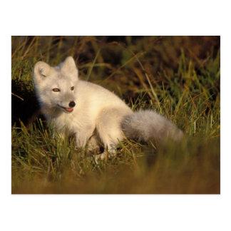 Cartão Postal raposa ártica, lagopus do Alopex, casaco que muda