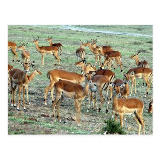 Cartão Postal rebanho da gazela da concessão