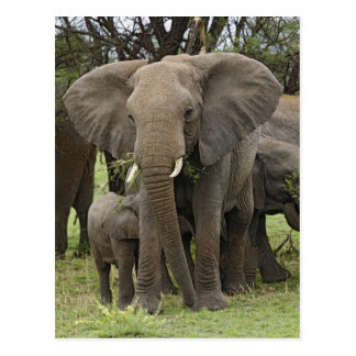 Cartão Postal Rebanho do elefante africano, africana do