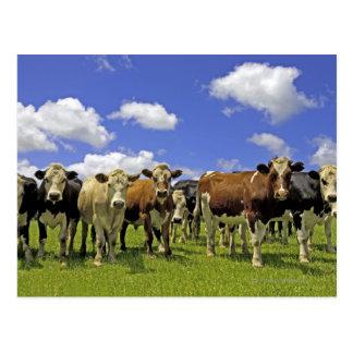 Cartão Postal Rebanho do gado e do céu nublado