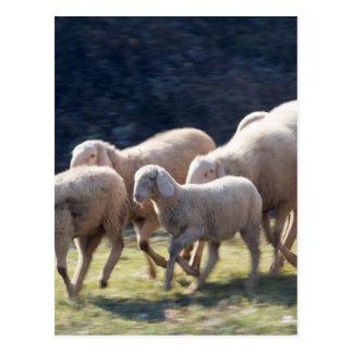 Cartão Postal rebanho dos carneiros