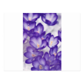 Cartão Postal Remendo da flor do açafrão da lavanda