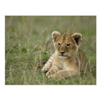 Cartão Postal Reserva do jogo de Kenya, Mara do Masai. Leão