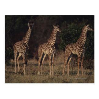 Cartão Postal Reserva nacional 3 de Mara do Masai