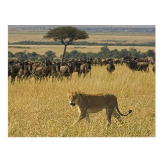 Cartão Postal Reserva nacional de Mara do Masai, Kenya, África