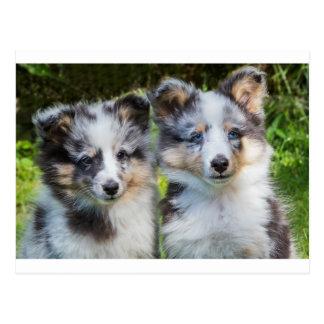 Cartão Postal Retrato de dois cães novos do sheltie