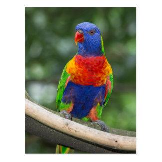 Cartão Postal Retrato de Lorikeet do arco-íris