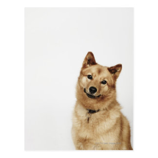 Cartão Postal Retrato de um sorriso finlandês do cão do Spitz