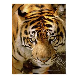 Cartão Postal Retrato de um tigre