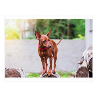 Cartão Postal Retrato do cão vermelho do pinscher diminuto
