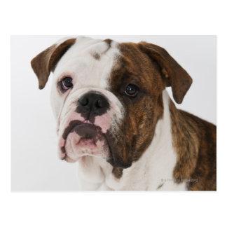 Cartão Postal Retrato do filhote de cachorro bonito do buldogue