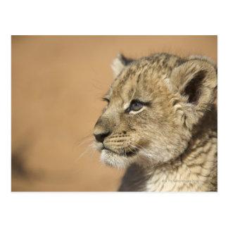 Cartão Postal Retrato do filhote de leão (Panthera Leo), Namíbia