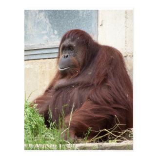 Cartão Postal Retrato do orangotango