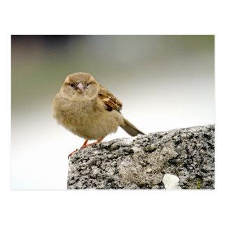 Cartão Postal Retrato do pardal