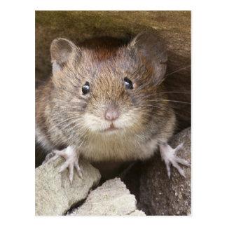 Cartão Postal Retrato do rato