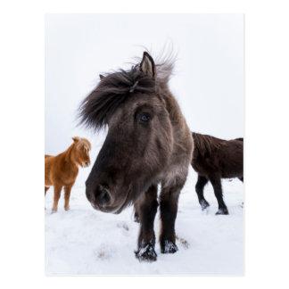 Cartão Postal Retrato islandês do cavalo, Islândia