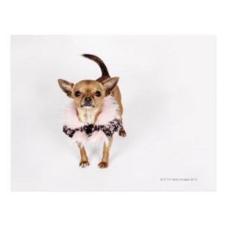 Cartão Postal Retrato subtil de uma chihuahua do Teacup